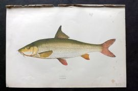 Couch 1877 Antique Fish Print. Barbel 181